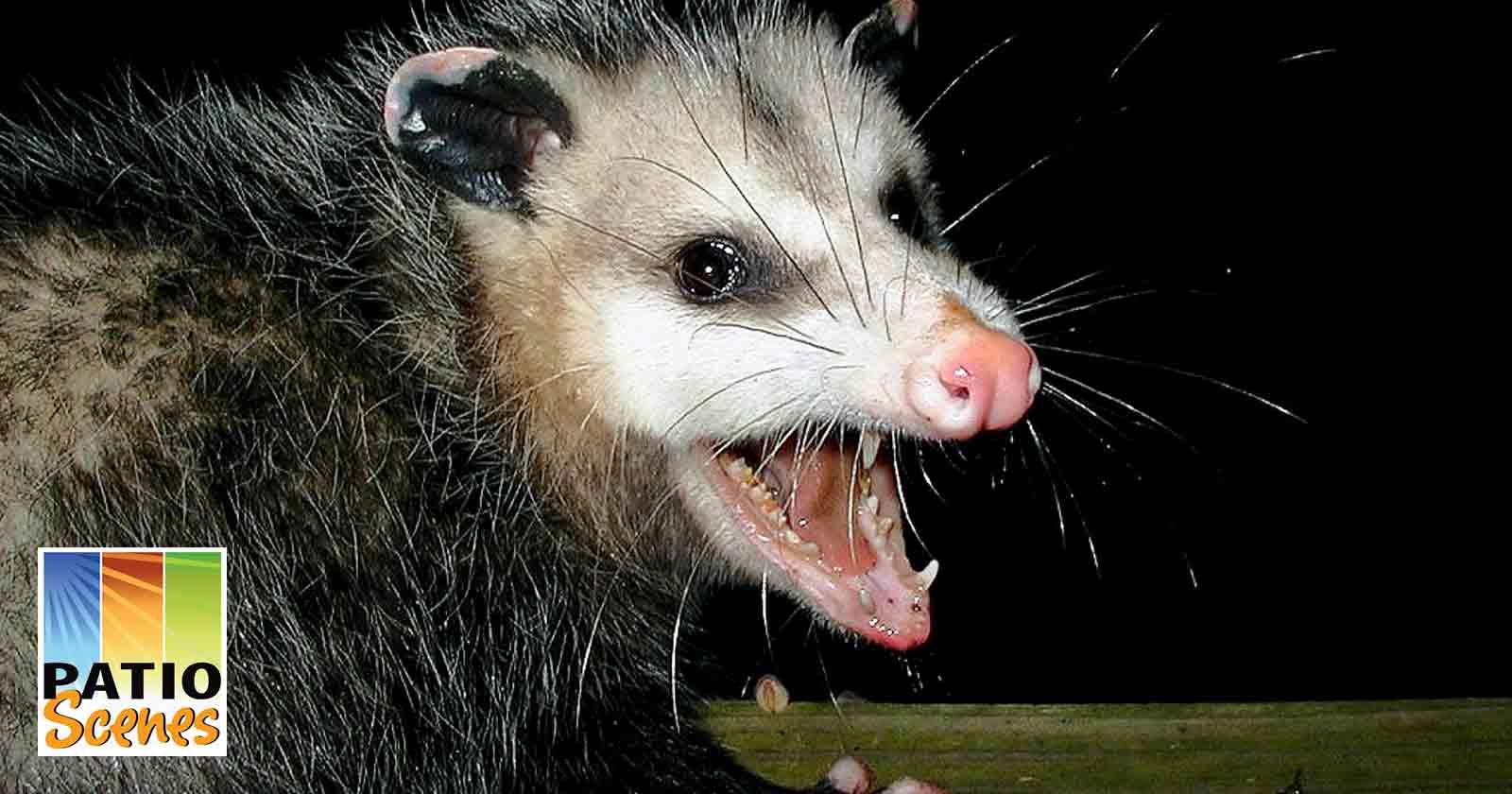 Florida opossum